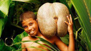 میوه درخت کوکو دومر